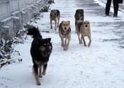 Бездомные собаки нападают на людей