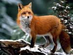 Диких животных Кировской области ждет массовая иммунизация