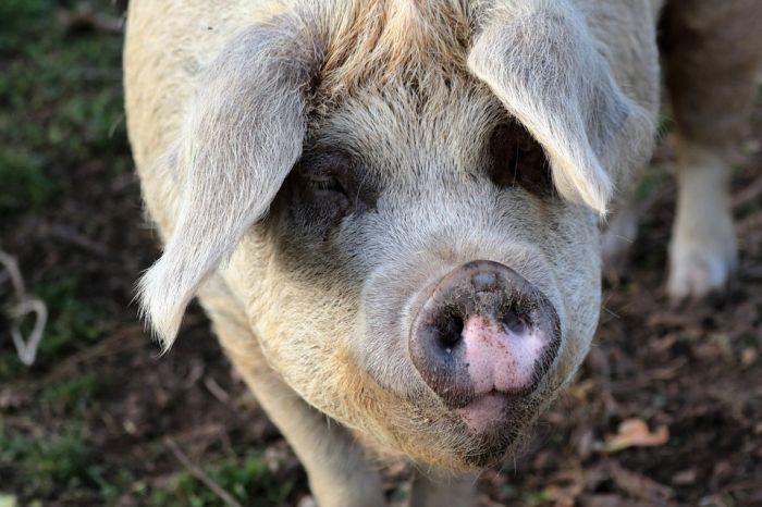 В Кирове обнаружили 390 кг потенциально опасной свинины