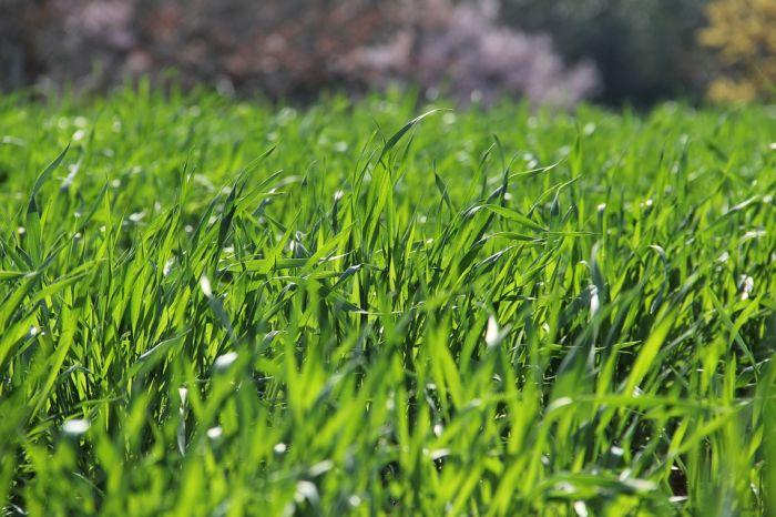 Плюсы и минусы рулонного газона
