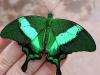«Живые тропические бабочки»