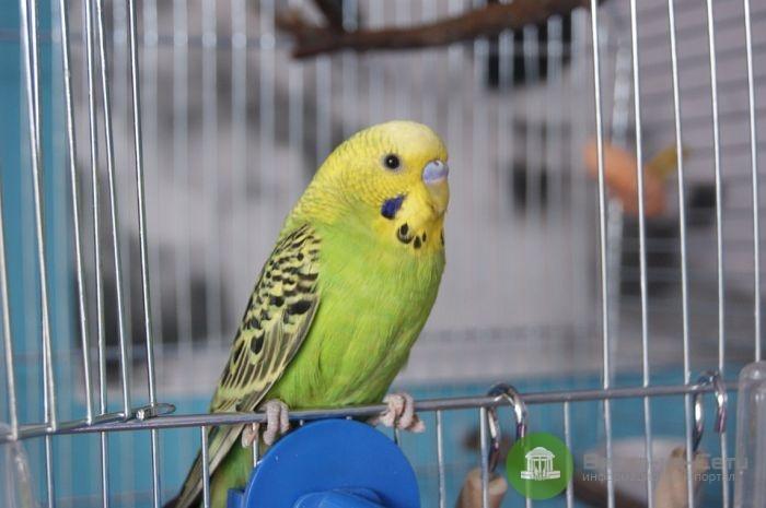 Разбойник с пистолетом похитил у кировчанина попугая