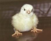 Власти прояснили ситуацию с гибелью птицы на птицефабриках «Кировхлеба»