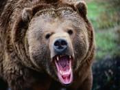 Жителя Лузы чуть не разодрал медведь-шатун