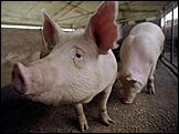 На территорию РФ запретили ввозить свинину из КНР