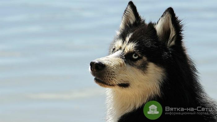 Собака набросилась на ребенка в Кирово-Чепецке