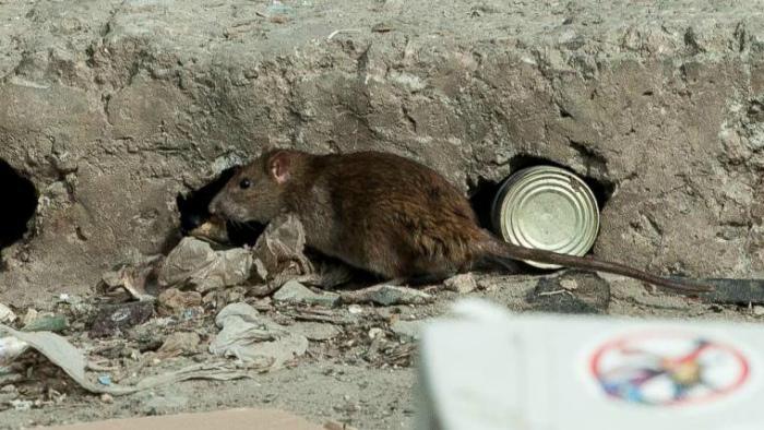 Глава мэрии: Крысы – признак деградации городского хозяйства