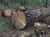 Житель Шабалинского района незаконно вырубили лесных насаждений более чем на 3 млн. рублей