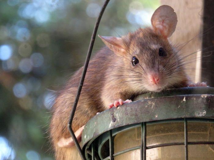 Из-за прикорма уток кировчанами на территории парка у Цирка расплодились крысы