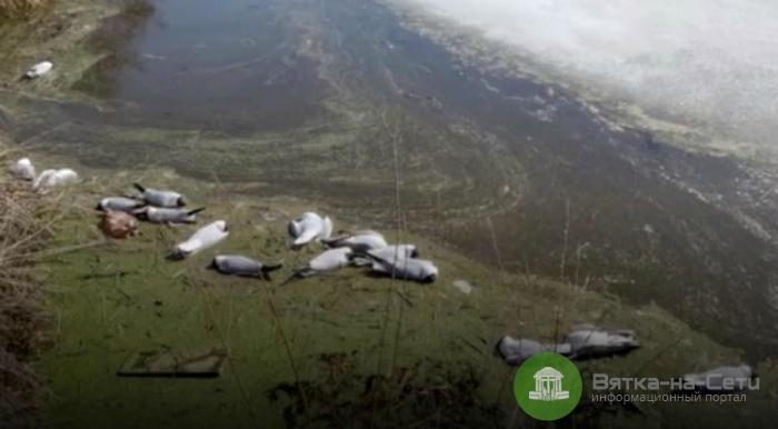 На пруду в Слободском районе погибли сотни птиц