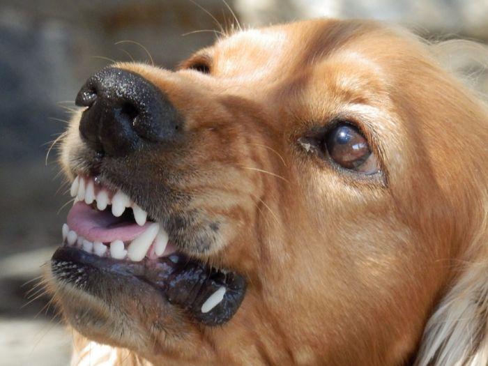 В Кирове собака укусила девочку за щеку