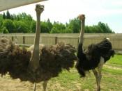 В Омутнинске появилась страусиная ферма