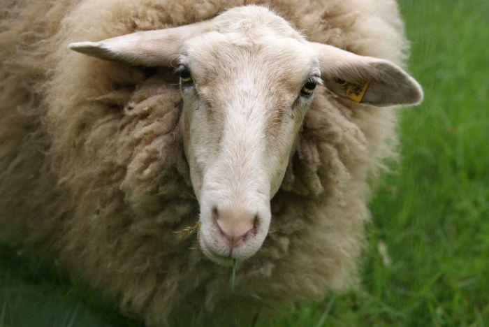 У жительницы Афанасьевского района украли двух овец и ягнёнка