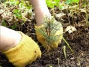В Гагаринском парке высадили хвойные деревья