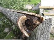 Аварийные деревья вырубят в Кирове до конца года