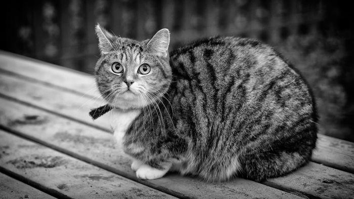 Манчкин: кошка-карлик