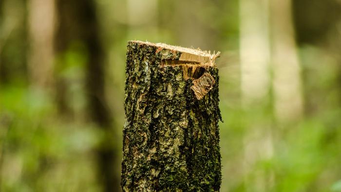 В Омутнинском районе незаконно вырубили лес на 1,3 млн рублей