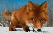 В Малмыже убита лисица с признаками бешенства