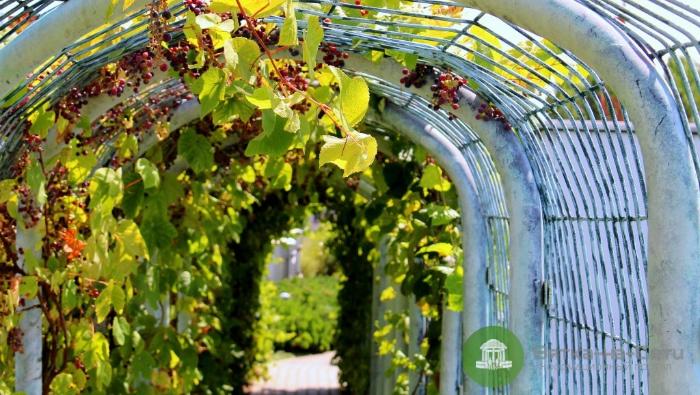 В сквере на Театральной площади появится виноград