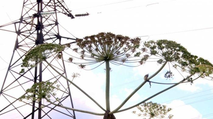 Под линиями электропередач «рост» борщевика достиг 2,5 метра