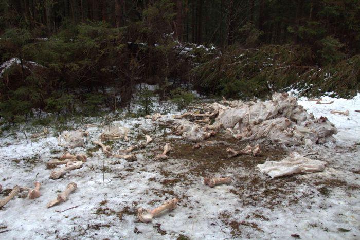 В Кировской области обнаружена еще одна свалка останков крупного рогатого скота