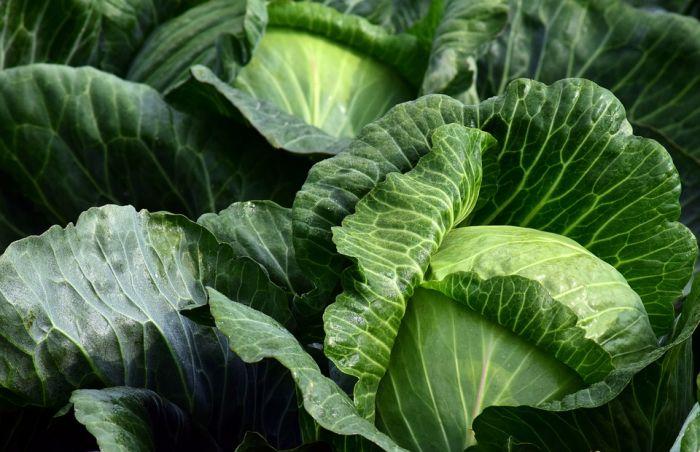 Зачем нужно обрывать нижние листья у капусты