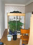 Кировчанин собрал в квартире коллекцию конопли