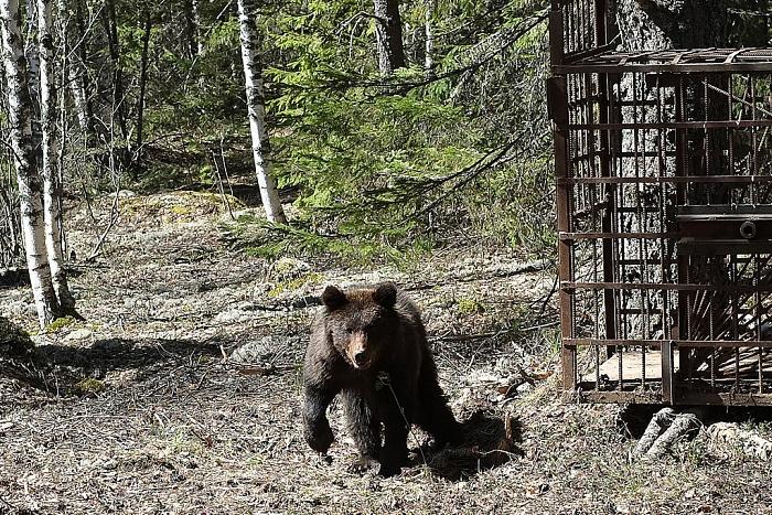 В Кировской области выпустили на волю спасённого медвежонка