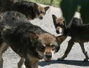 Стая собак набросилась на школьника в Омутнинск
