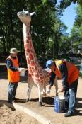 Новая жизнь кировских жирафов
