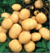 В д.Левичи пройдёт праздник «Вятская картошка»
