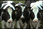 В Слободском приставами арестовано голодное стадо коров