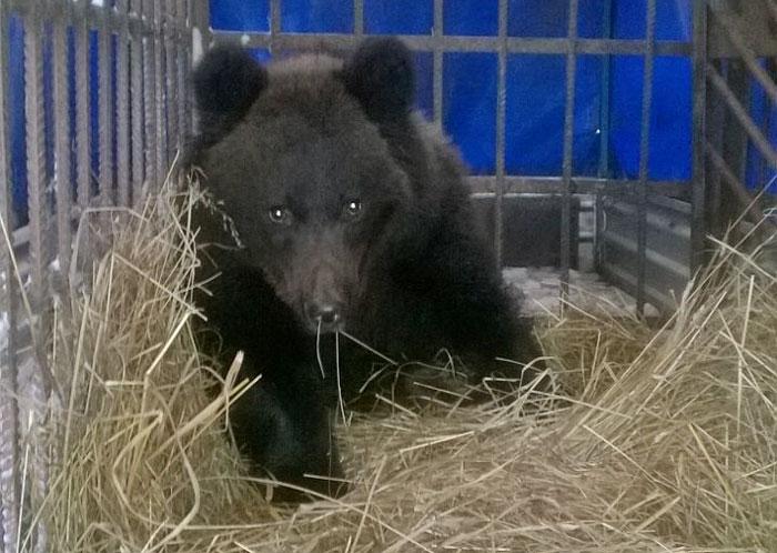 Медвежонок, которого спасли в декабре, поселился на охотбазе в Оричевском районе