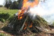 В Кировской области сожгли поле конопли